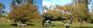 beforeaftertreetrim